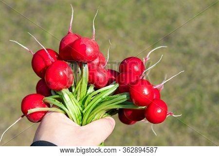 Closeup Male Local Farmer Hand Holding Fresh Ripe Tasty Organic Bio Big Red Radish Bunch Just Picked