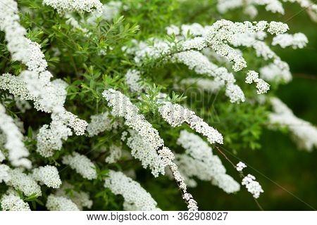 Gardening. Home Garden, Flower Bed. Green Leaves, Bushes. Spirea Wangutta. Spiraea Vanhouttei, Ornam