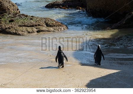 A Couple Of African Penguin Or Jackass Penguin Going Swimming Together At Boulders Beach, Simonstown