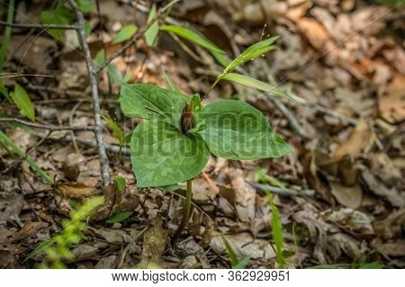 A Wild Trillium In Full Bloom With A Maroon Colored Flower And Mottled Leaves Growing From The Fores