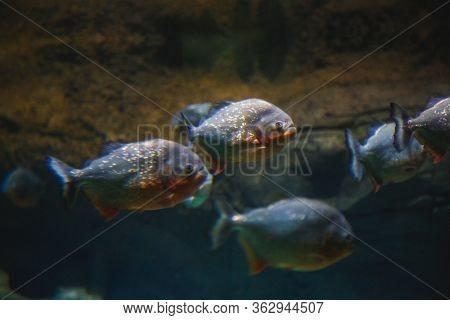 Several Piranhas From Flocks Swim Against The Background Of Stones.