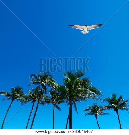 Group of tall palm trees and flying seagull over clear blue sky in Deerfield beach, Florida, USA