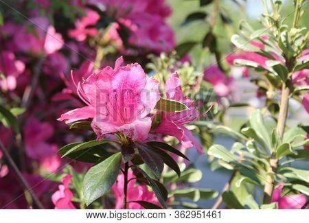 Pink Azalea Flowers Bush Plants In Bloom