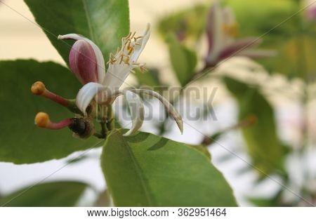 Lemon Flower Plant In Bloom With Blur