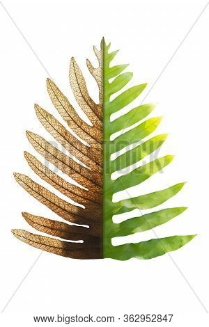 Concept Of Climate Has Changed, Half Alive And Half Dead Fern, Save The World, Save The Environment.