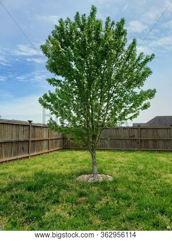 Single young maple tree in a fenced back yard.