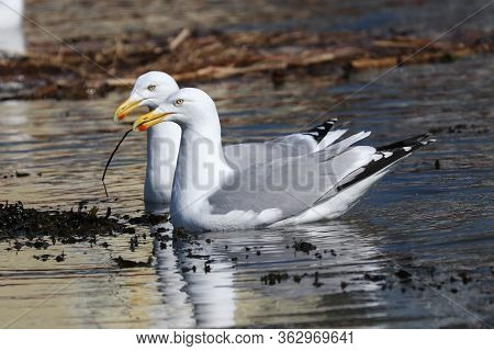 A Pair Of Herring Gulls Collecting Sticks To Build A Nest