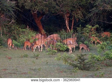Herd Of Sri Lankan Axis Deer, Axis Axis Ceylonensis, Early In Morning. Also Called Ceylon Spotted De