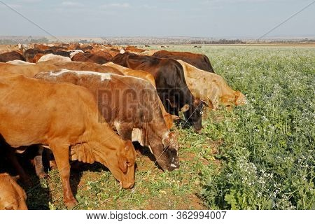 Cattle strip grazing cover crops with movable electrical fencing on a rural farm, South Africa