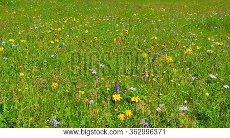 Spring meadow with alpine windflowers and fresh green grass at sunny day