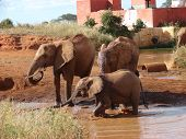 Red african elephants at the waterhole in Tsavo National Park - Estern Kenya 2007 poster