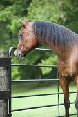 Arabian bay male horse looking outside of the gate poster