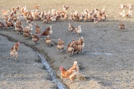 Brown Chickens Live Outdoors At Bio Poultry Farm Dirt Mud. Rural Agriculture Scene With Free Happy H
