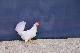 Single White Chicken Outdoors Looking Right At Blue Background. Free Happy Hen At Rural Agriculture
