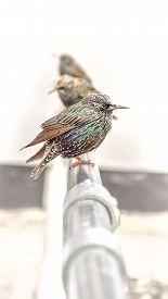 Bird Isolated - Colorful Starling (sturnus Vulgaris) Sitting On A Rail