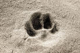Dog Paw Print In The Sand. Dog Paw Print In The Sand