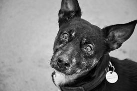 Sad Old Dog Isolated. Mongrel Breed With Depressed Eyes. Pet Waiting