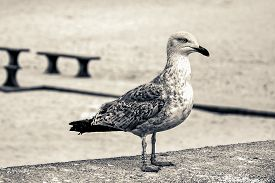 Young Seagull (larus Argentatus) Herring Gull With A Leg Ring Tag And Number On A Beach Around Balti