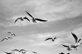 Birds In The Sky - A Flock Of Flying Seagulls Against Cloudy Sky
