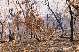 Bushfire Burnt Gum Trees In The Blue Mountains In Australia