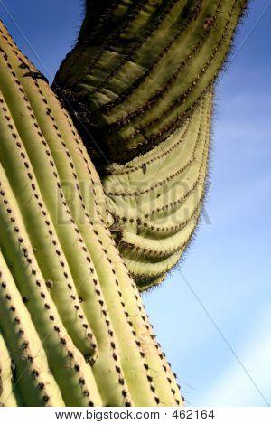 Strong Saguaro