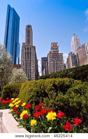 Chicago And Tulips