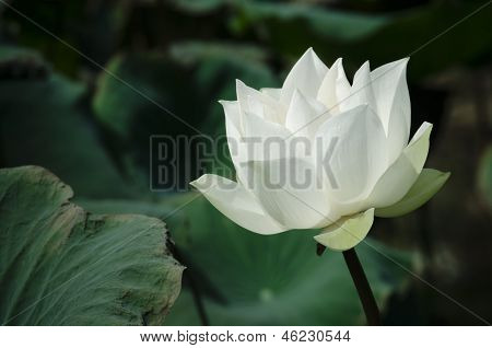 White Lotus Series