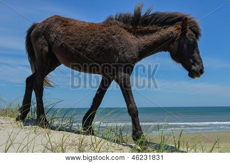 spanish mustang wild horse on the dunes in north carolina poster