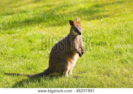 Swamp- or Black Wallaby standing on grassland in morning sunshine poster