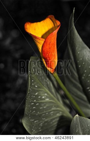 Betty's Calla Lily