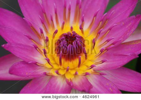 Beautiful Water Lily