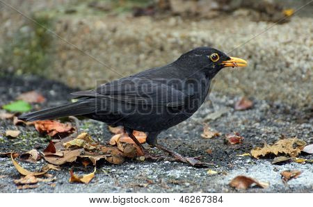 Black Blackbird hunting with a worm in the yellow beak poster