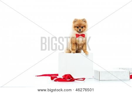 Little funny spitz with bow tie inside gift box poster