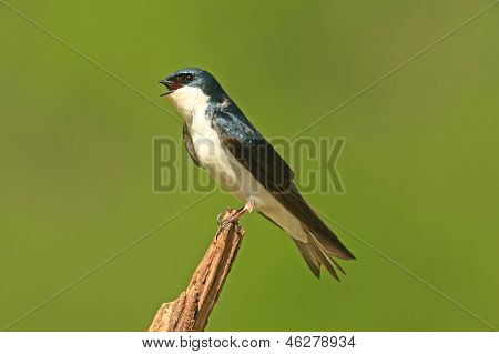 Tree Swallow (tachycineta bicolor) on a stump with a green background poster