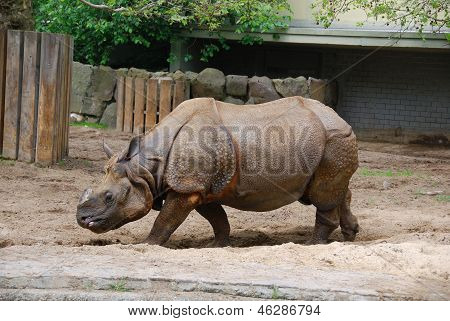 The Indian rhinoceros