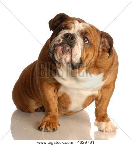Bulldog Looking Up