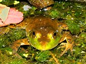 Bullfrog (Rana catesbeiana) in a pond of the Kettle Moraine State Forest of Wisconsin. poster