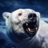 Angry white polar bear with the sharp teeth poster