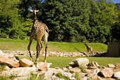 A pair of Giraffes turn their backs to the camera. poster