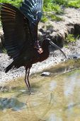 Glossy Ibis or Plegadis falcinellus spreading wings in sunshine at the waterside poster