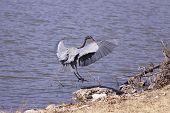 Great Blue Heron landing on the side of a lake. poster