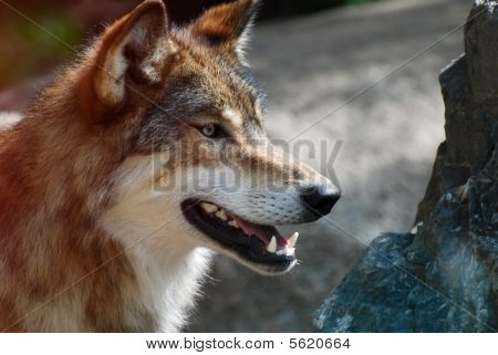 Wolf on the look out