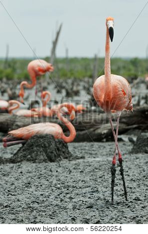 Flamingo (phoenicopterus Ruber) Colony.