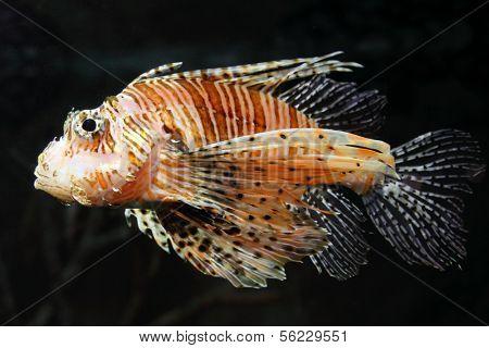 lionfish zebrafish underwater close-up