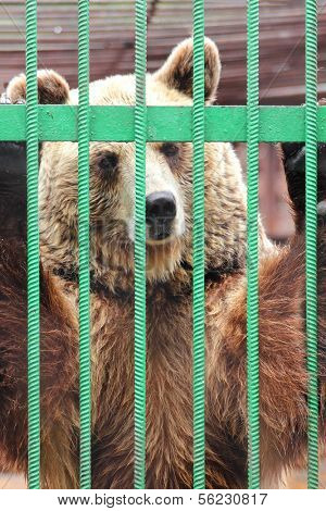 captivity - brown bear closed in zoo cage  poster