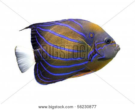 angelfish isolated on white - pomacanthus annularis