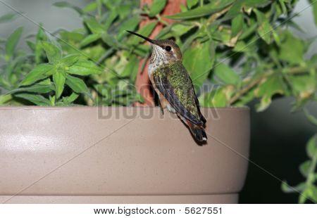 Hummingbird sitting on flower pot