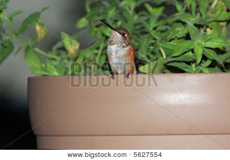 Hummingbird in flower pot