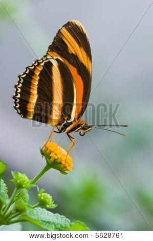 Butterfly Banded Orange Tiger resting on flower poster