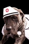 English Mastiff dressed up in a nurse's uniform.  A stethoscope around its neck and a cap with medical symbol on it. poster